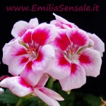 EmiliaSensale.it fiori (1)